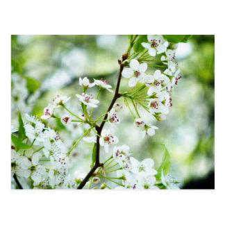 Flores de la pera tarjeta postal