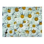 Flores de las margaritas postales