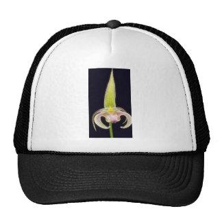 Flores de Lobbii (Bulbophyllum) Gorras