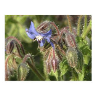 Flores de los officinalis del Borago Postal