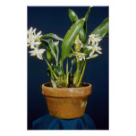 Flores de Ochracea (Coelogyne) Impresiones