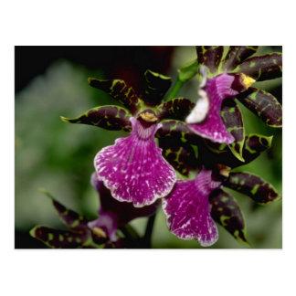 Flores de Oncidium Postal