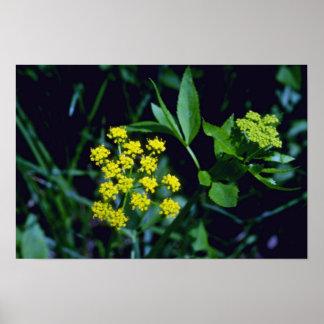 flores de oro amarillas de la Prado-Pastinaca (Ziz Póster