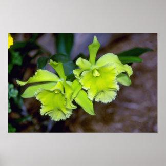 Flores de Rhyncholaelia de la cal Póster