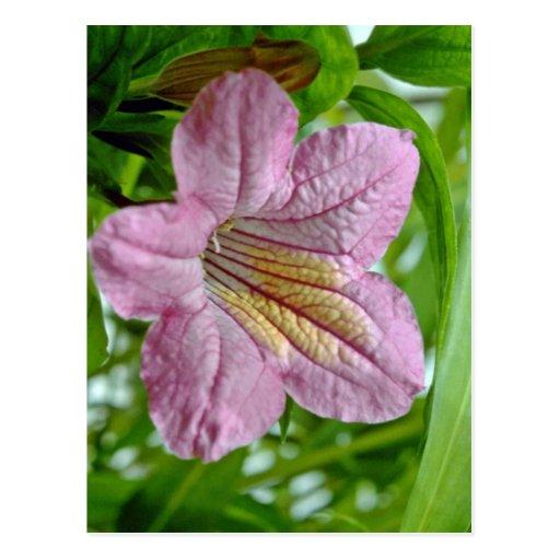Flores de Ruellia Macrantha Tarjeta Postal