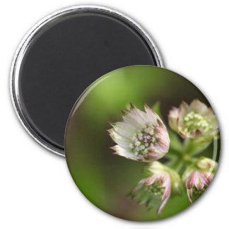 Flores de un gran masterwort imán redondo 5 cm