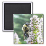 Flores del Agastache con el abejorro Iman De Nevera