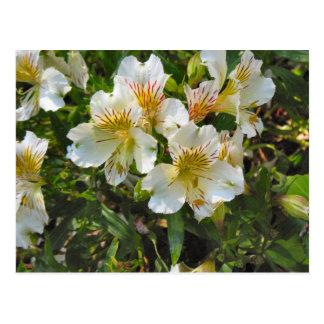 Flores del Alstroemeria Tarjetas Postales