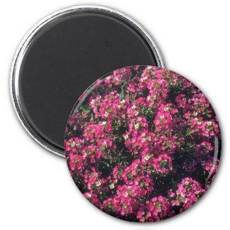 Flores del Alyssum dulce (Lobularia Maritima) Imán Redondo 5 Cm