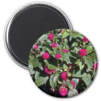 Flores del amaranto de globo (Gomphrena Globosa) Imán Redondo 5 Cm
