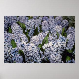 Flores del azul de Hyacinthus Delf jacinto Impresiones