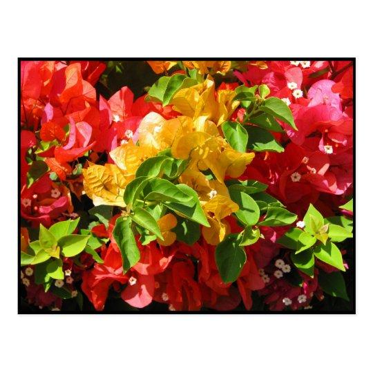 Flores del Bougainvillea Postal