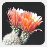 Flores del cactus colcomania cuadrada