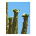 Flores del cactus del Saguaro Tarjetas Postales