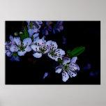 Flores del ciruelo en el jardín de la noche impresiones