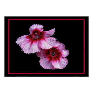 Flores del clavel poster