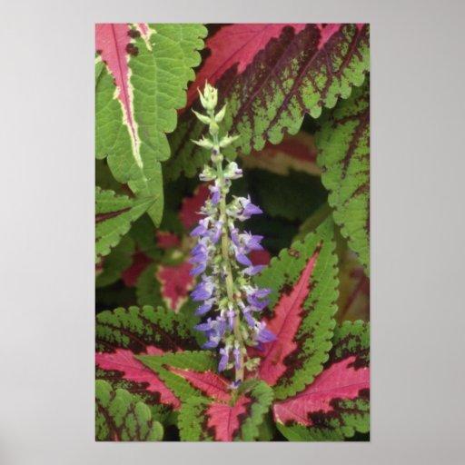 Flores del coleo del jardín (coleo Hybridus) Posters