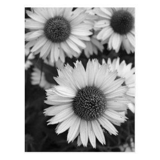 Flores del cono - margarita - en blanco y negro postal
