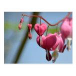 Flores del corazón sangrante postales