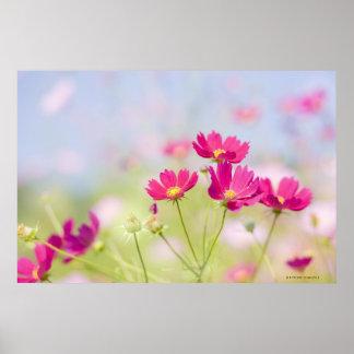 Flores del cosmos póster