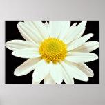 Flores del crisantemo de la margarita blanca posters