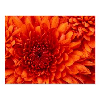 Flores del crisantemo tarjeta postal