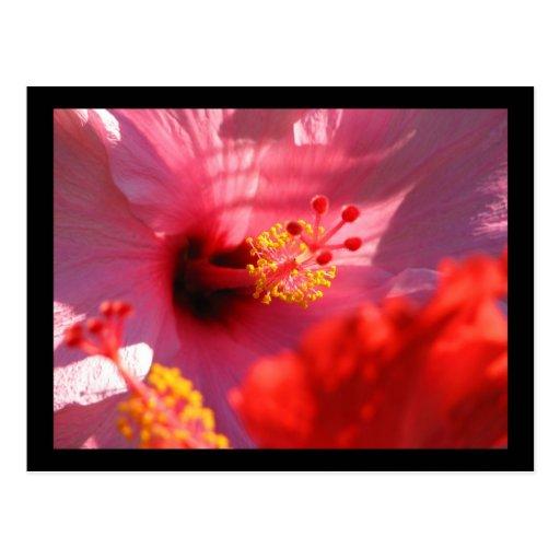 Flores del hibisco tarjeta postal