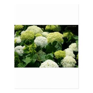 Flores del Hydrangea de Annabelle Tarjetas Postales
