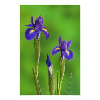 Flores del iris cojinete