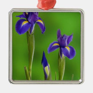 Flores del iris ornato