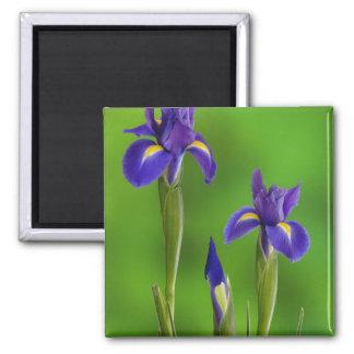 Flores del iris imán cuadrado
