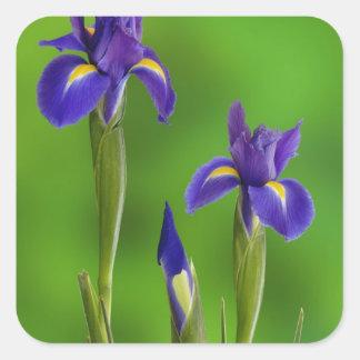 Flores del iris colcomanias cuadradass
