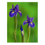 Flores del iris tarjeta postal