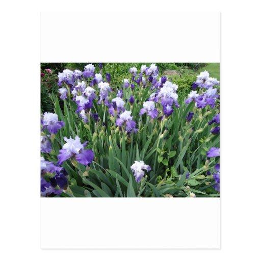 Flores del iris tarjetas postales