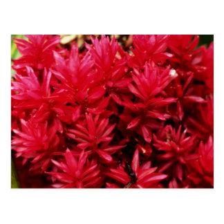Flores del jengibre, flores de Puerto Rico Tarjeta Postal