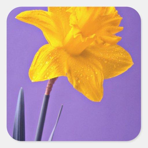 Flores del narciso pegatina cuadrada