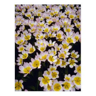 Flores del orgullo de Holanda amarilla Tarjeta Postal