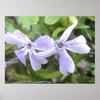 Flores del Phlox del arrastramiento Impresiones