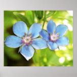 Flores del Pimpernel azul (monelli del Anagallis) Impresiones
