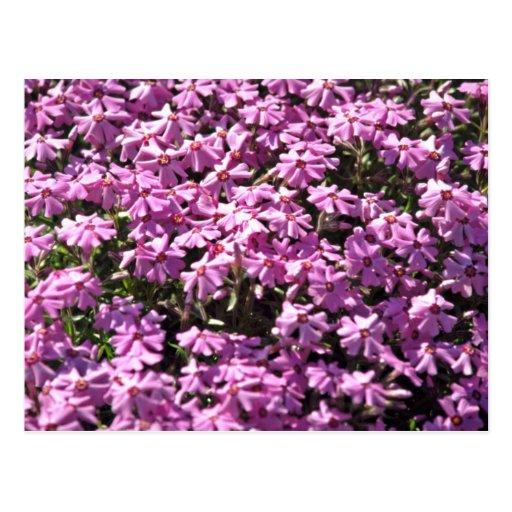Flores del rojo del primer de la lila postal