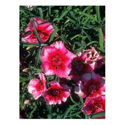 Flores del rosa de China (clavel Chinensis) Postal