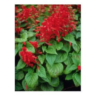 Flores del sabio del escarlata (Salvia Splendens) Postal
