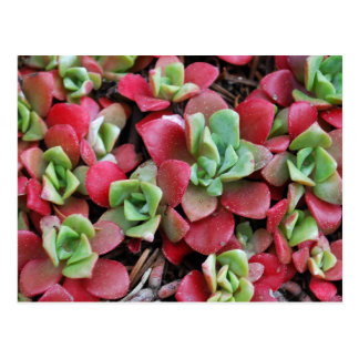 Flores del Succulent de la montaña Postal