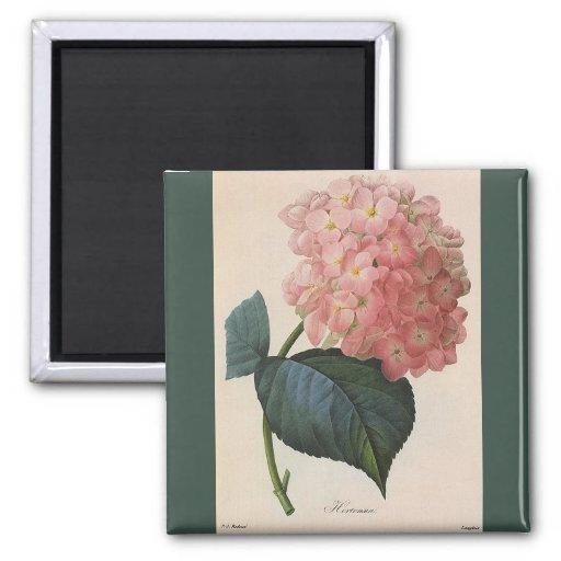 Flores del vintage, jardín rosado del Hortensia de Imán