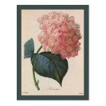 Flores del vintage, jardín rosado del Hortensia de Tarjeta Postal