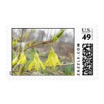 Flores delicadas del Forsythia de la primavera Envio