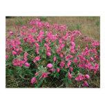 Flores en la tundra, flores rosadas de Alaska Postales
