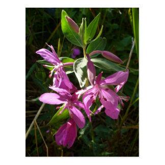 Flores enanos del Fireweed, isla de Unalaska Postal
