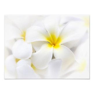 Flores florales del Plumeria del Frangipani blanco Fotografía