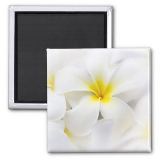 Flores florales del Plumeria del Frangipani blanco Imán Para Frigorifico